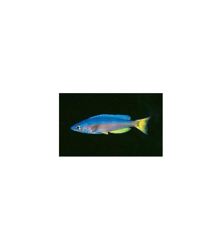 Cyprichromis leptosoma blue flash Kekese