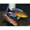 Cyprichromis leptosoma blue flash Mvuna
