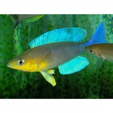 Cyprichromis leptosoma Chimba Türkis