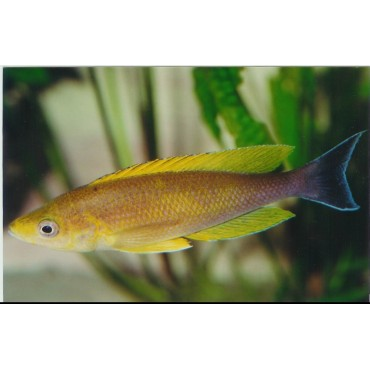 Cyprichromis leptosoma coloratus