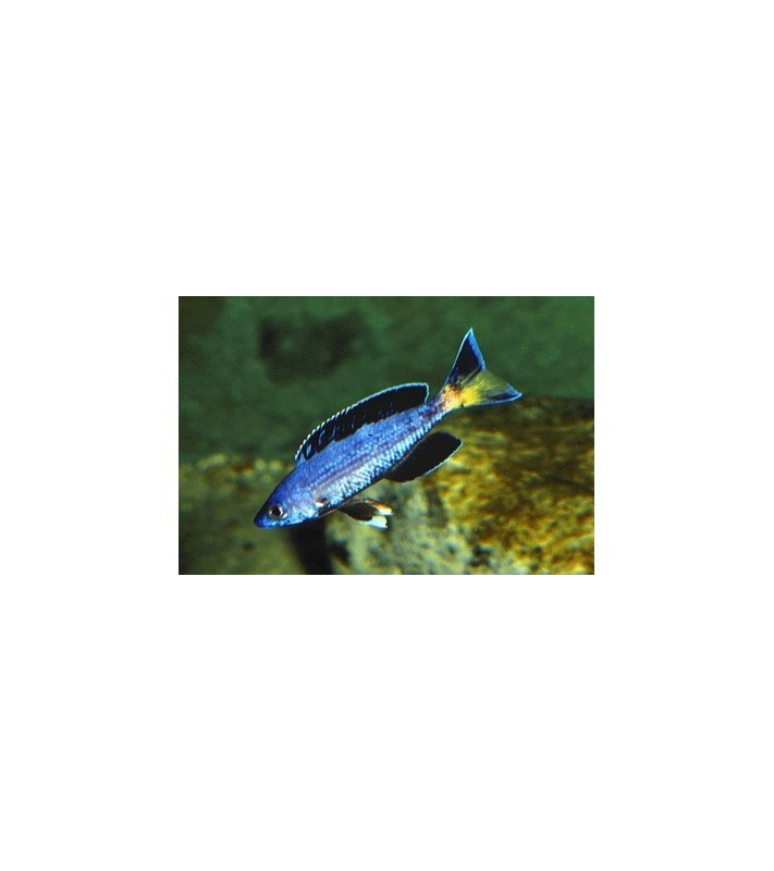 Cyprichromis leptosoma jumbo Chipimbi