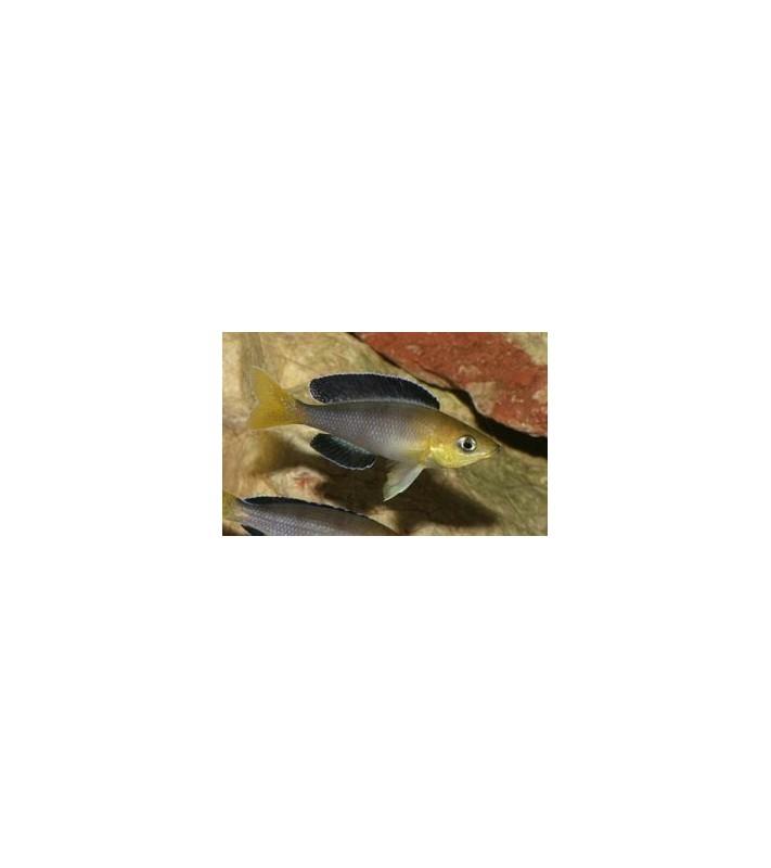Cyprichromis leptosoma jumbo Fulwe Rocks
