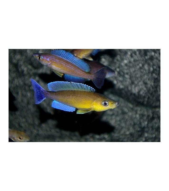 Cyprichromis leptosoma jumbo Isanga