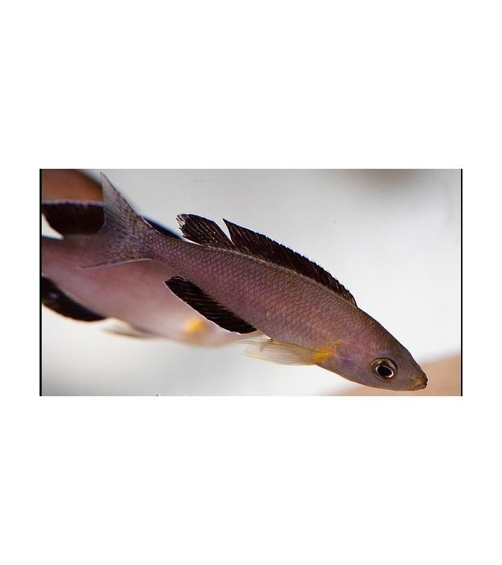 Cyprichromis leptosoma jumbo Kambwimba