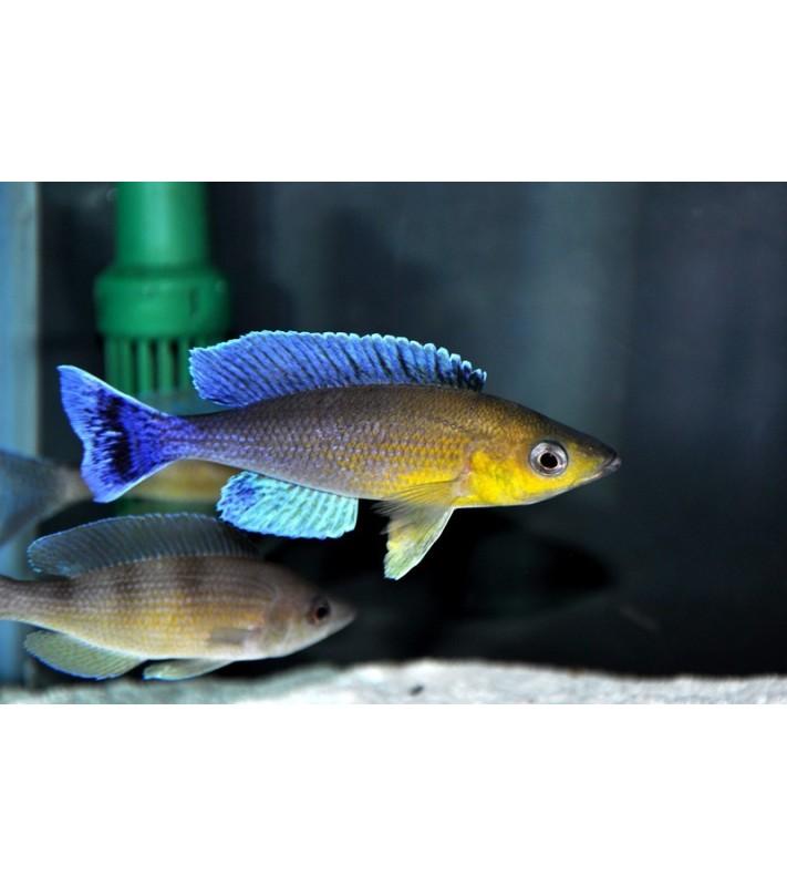 Cyprichromis leptosoma jumbo Katete