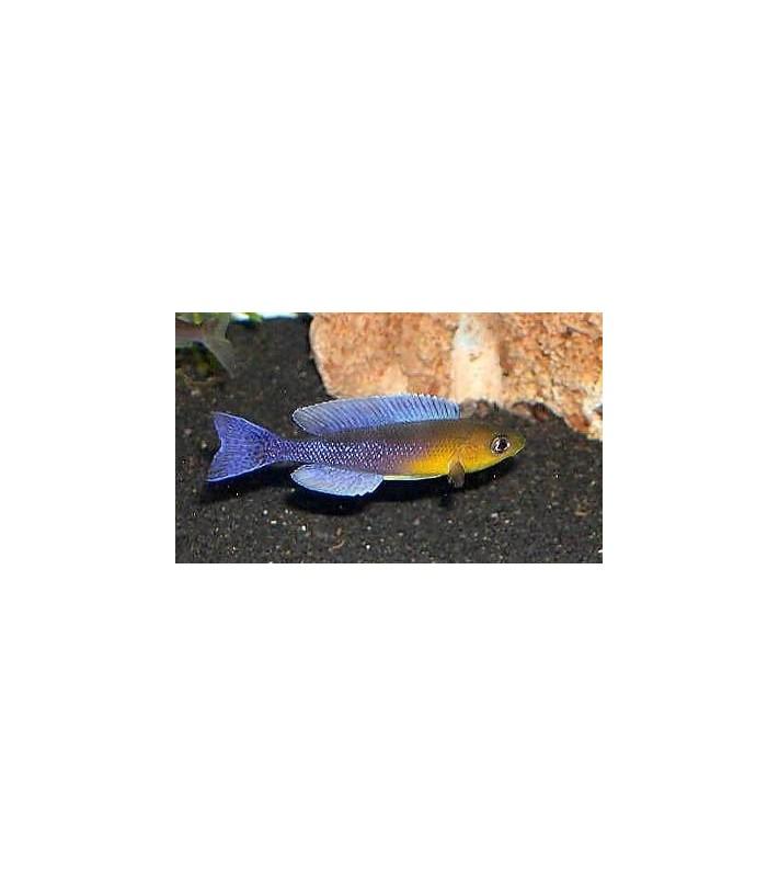 Cyprichromis leptosoma jumbo Kigoma