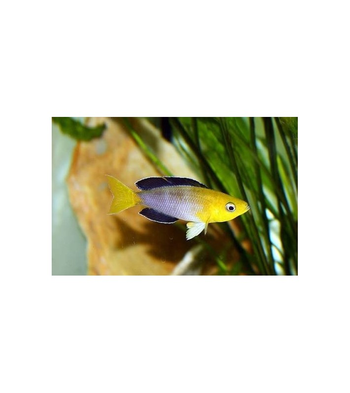 Cyprichromis leptosoma jumbo Mpimbwe yellow head