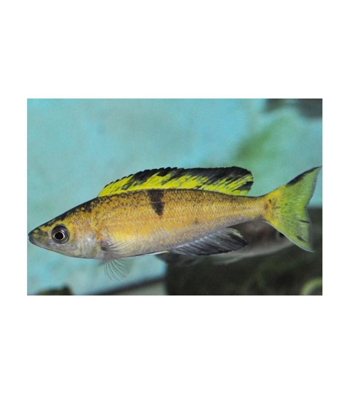 Cyprichromis microlepidotus Ubwari