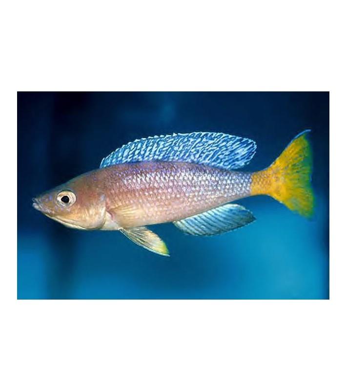 Cyprichromis pavo Katete