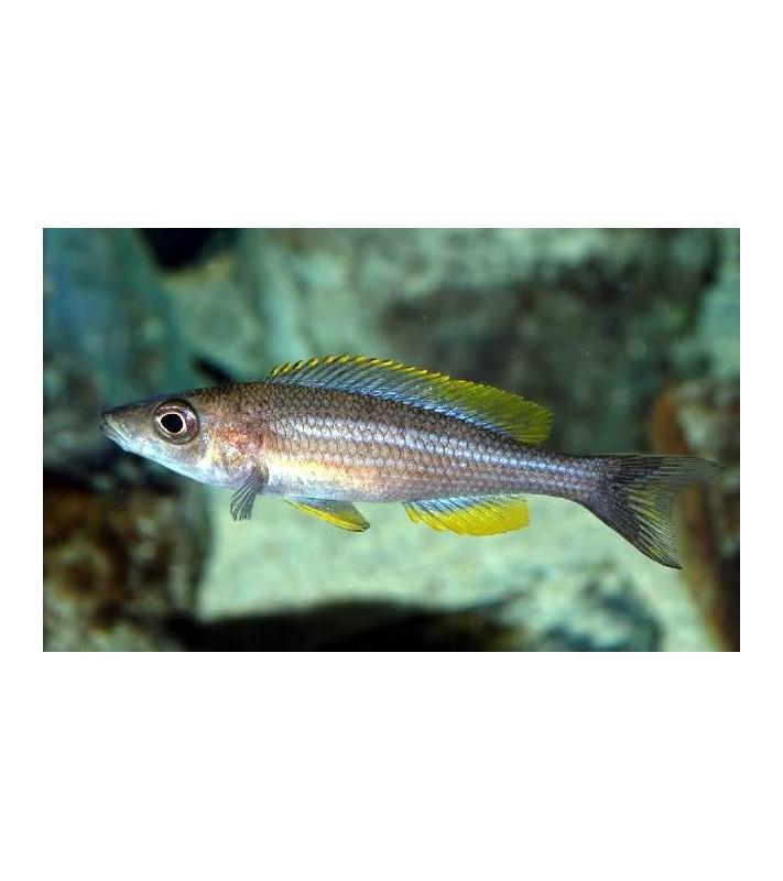 Paracyprichromis brieni Lusingu yellow