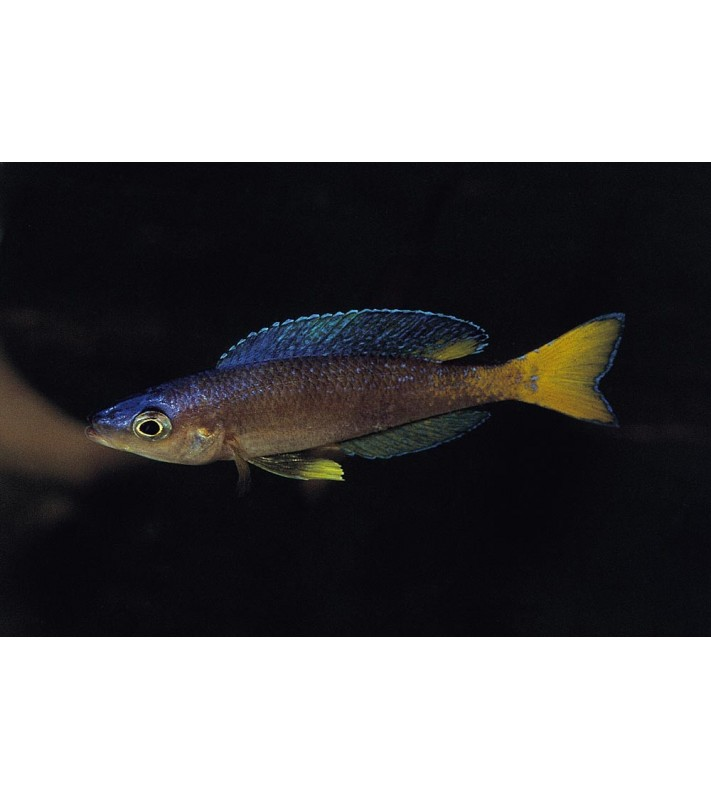 Cyprichromis leptosoma Malasa