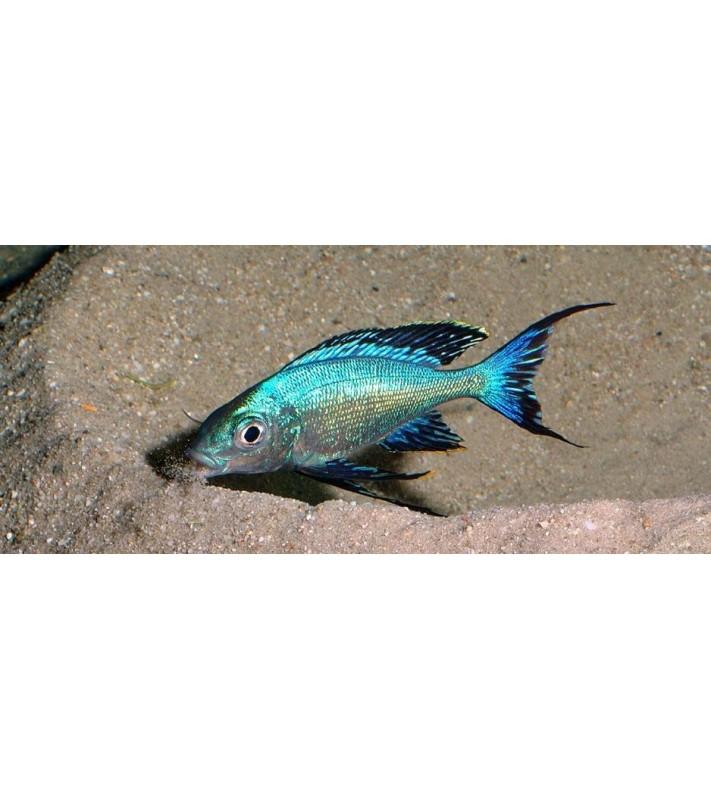 Cyathopharynx furcifer Kabogo