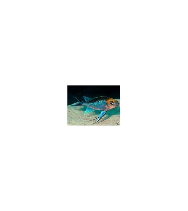 Cyathopharynx furcifer Mbita blue