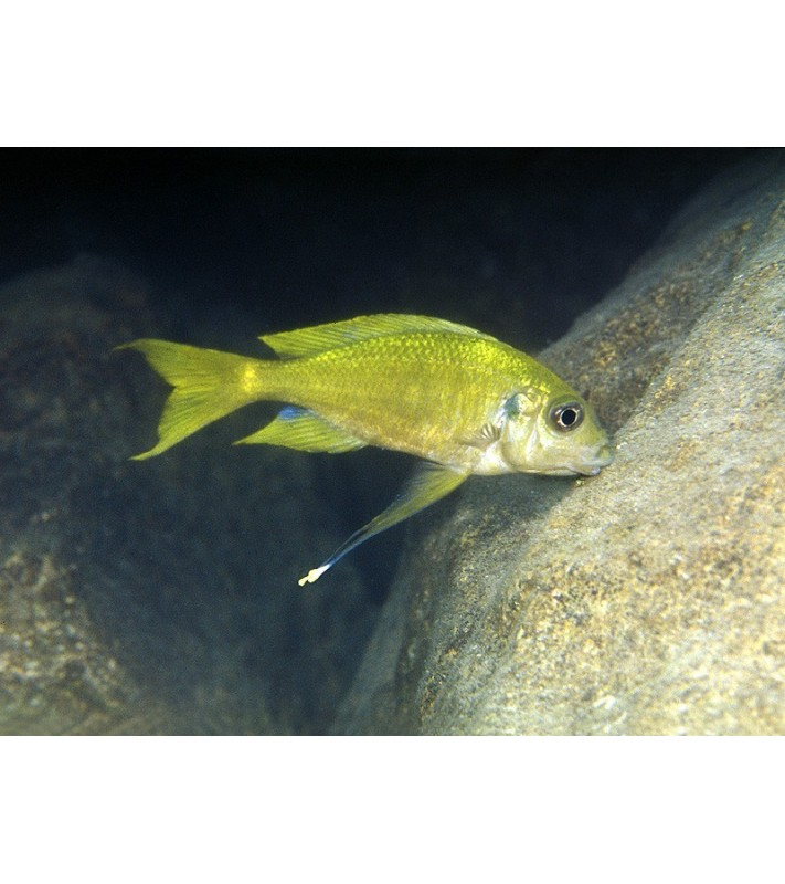 Ophthalmotilapia ventralis Kala yellow