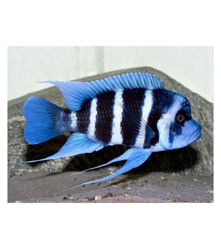 Cyphotilapia frontosa Sambia blue