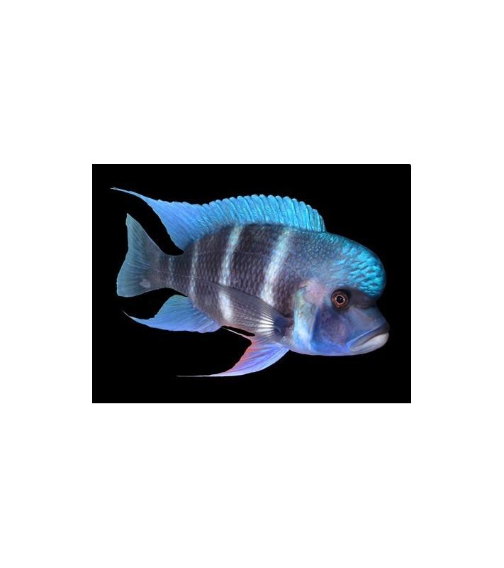Cyphotilapia frontosa Ikola Blue