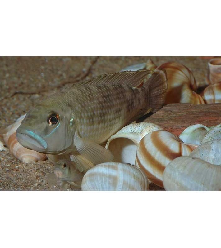 Neolamprologus calipterus