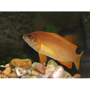 Neolamprologus mustax orange