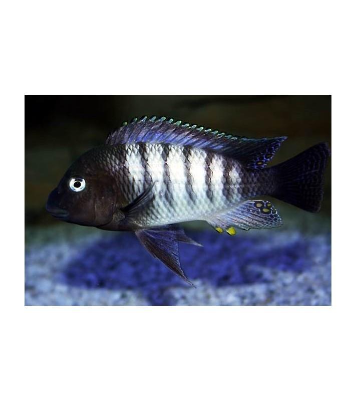 Petrochromis famula Kaiser Tembwe