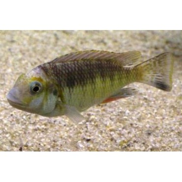 Petrochromis orthognathus tricolor Katoto