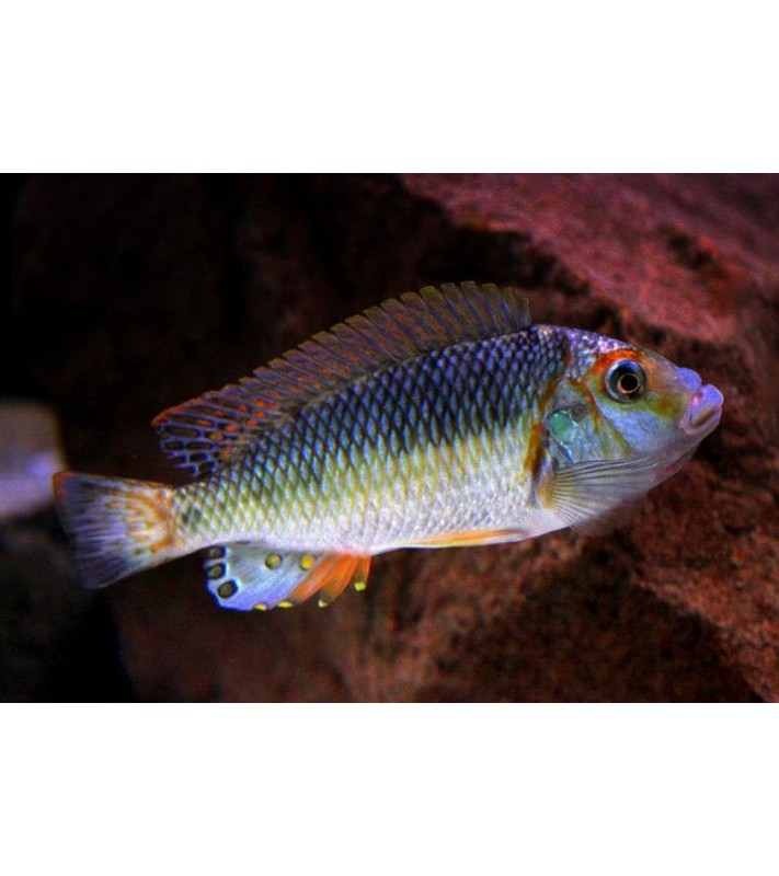 Petrochromis orthognathus tricolor Mvuna