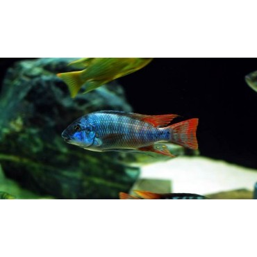 Petrochromis sp. Longola red fin