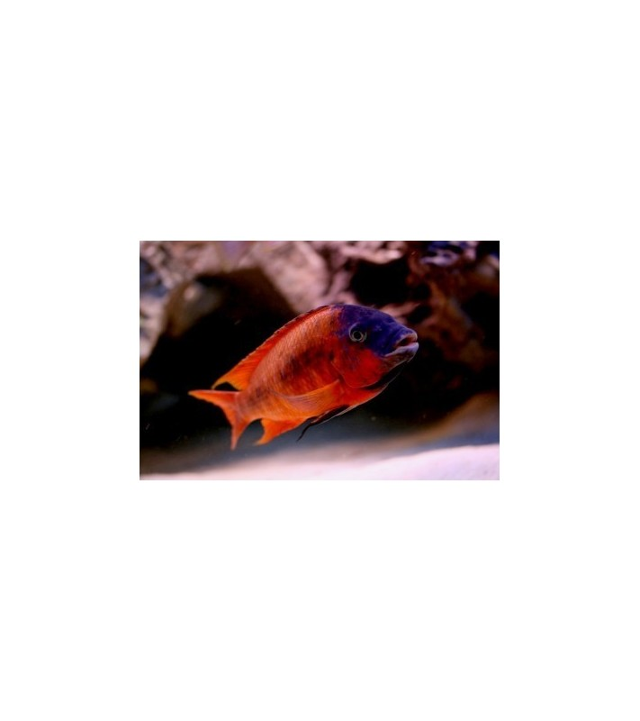 Petrochromis sp. red Bulu Point