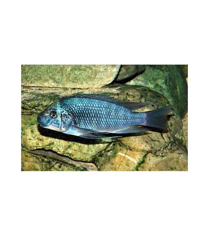 Petrochromis sp. Texas Bulu Point