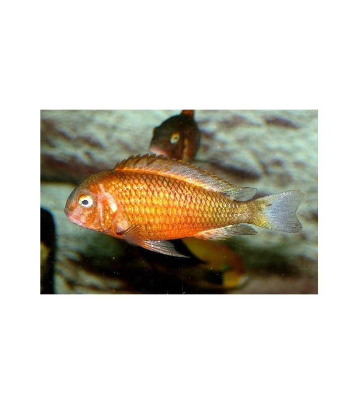 Tropheus bemba bright orange mutation