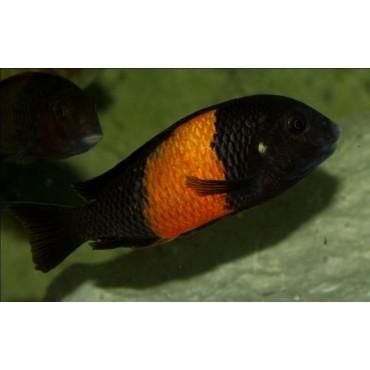 Tropheus sp. Black Bemba