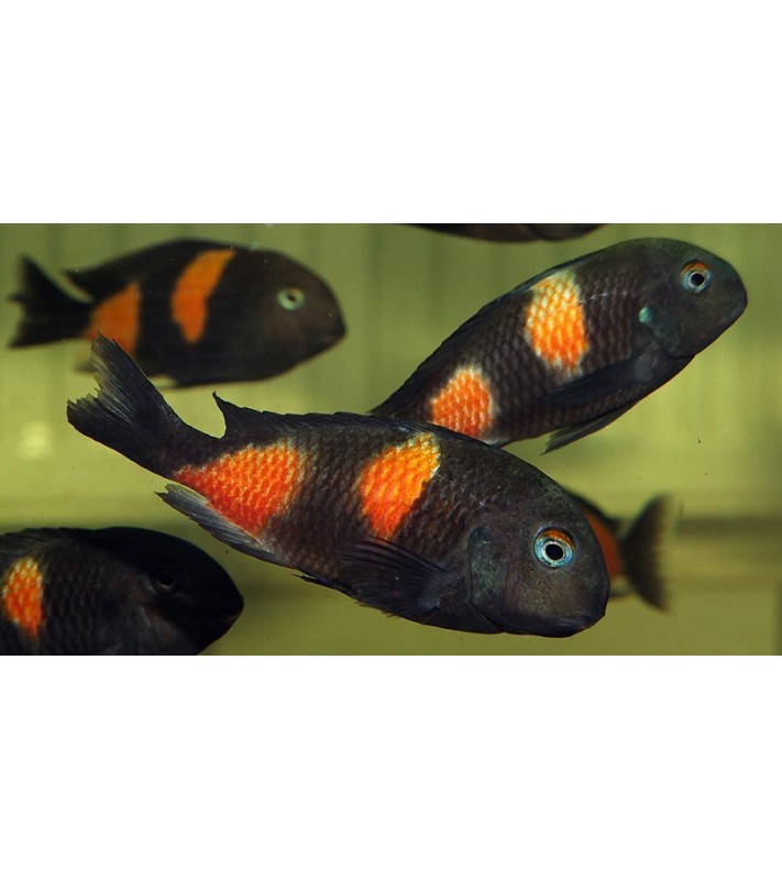 Tropheus sp black Bulu Point