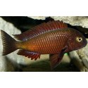 Tropheus sp. Red Chiwena