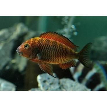Tropheus sp. Red Kachese