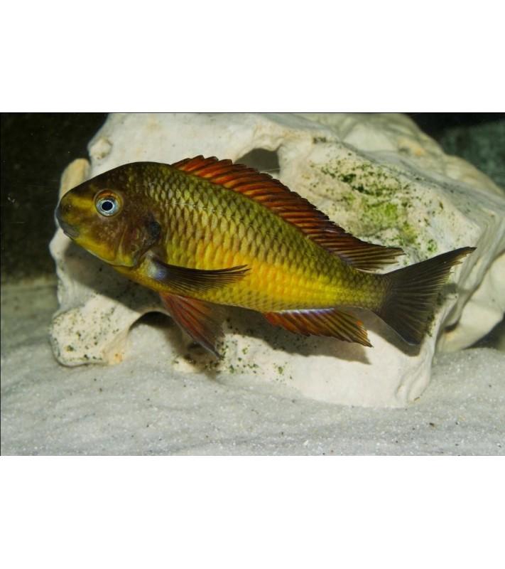 Tropheus moori Golden Kazumbe