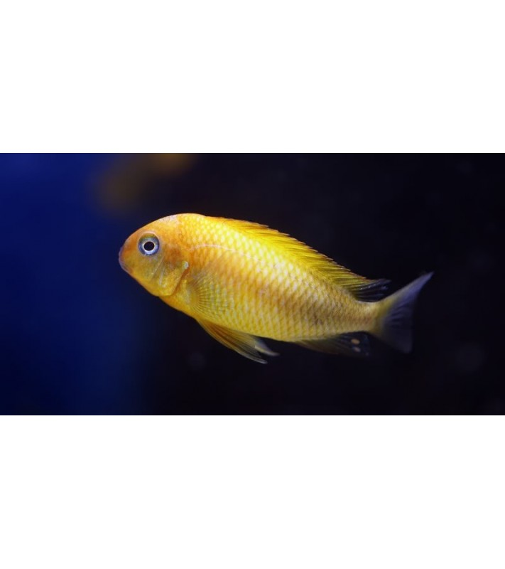 Tropheus sp. Black Kiriza Gold