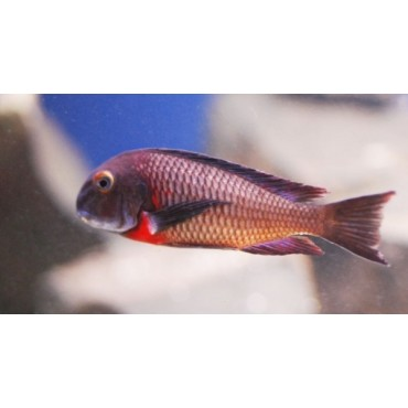 Tropheus sp. Red Lunangwa