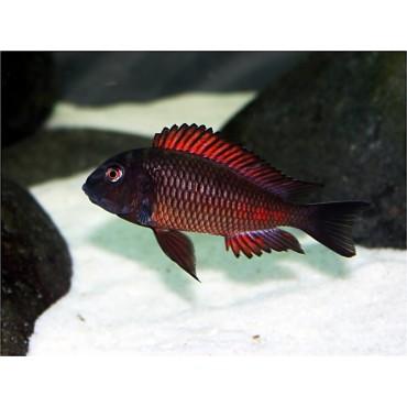 Tropheus sp. Red Moliro
