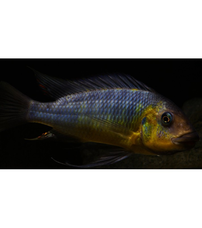 Petrochromis polyodon Longola