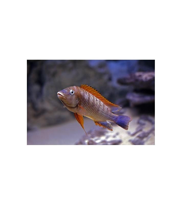 Petrochromis famula Kigoma orange fin