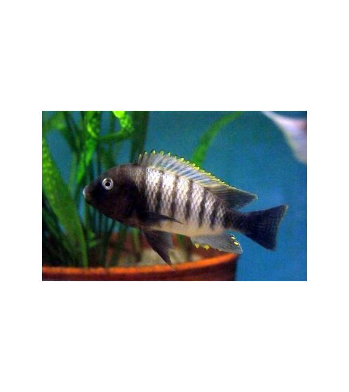 Petrochromis famula Ndole