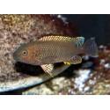 Petrochromis famula Tembwe silver
