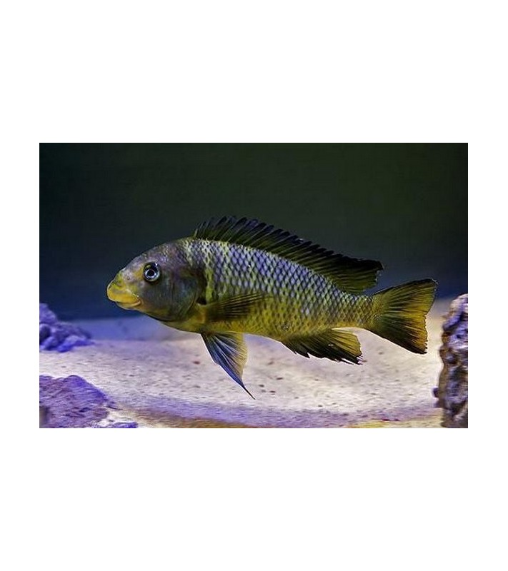 Petrochromis macrognathus Ikola