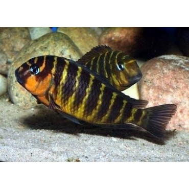 Tropheus brichardi Mpimbwe red check