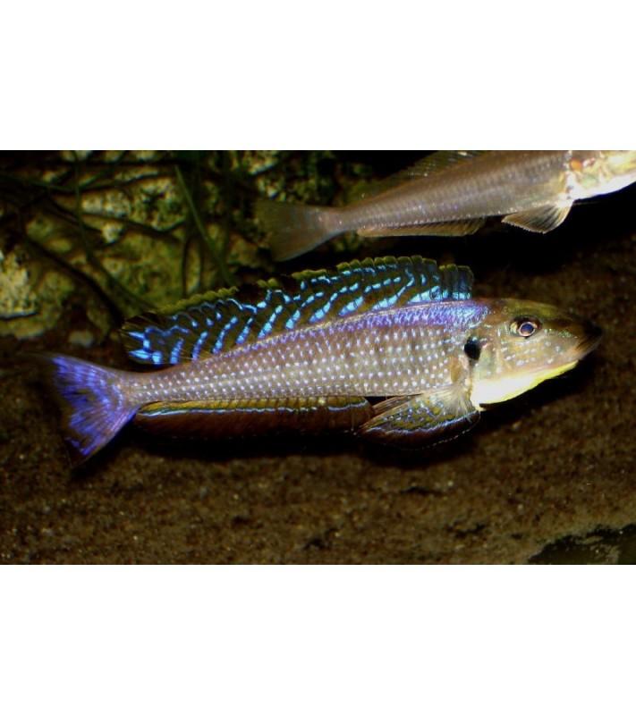 Enantiopus melanogenys Karema