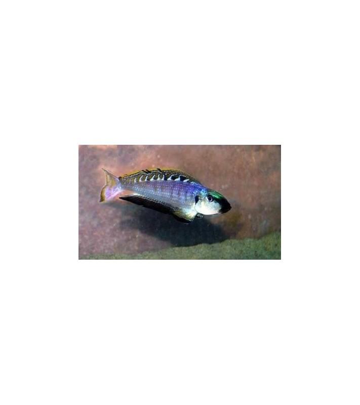 Enantiopus melanogenys Kipili