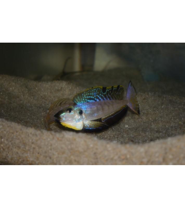 Enantiopus melanogenys Makola