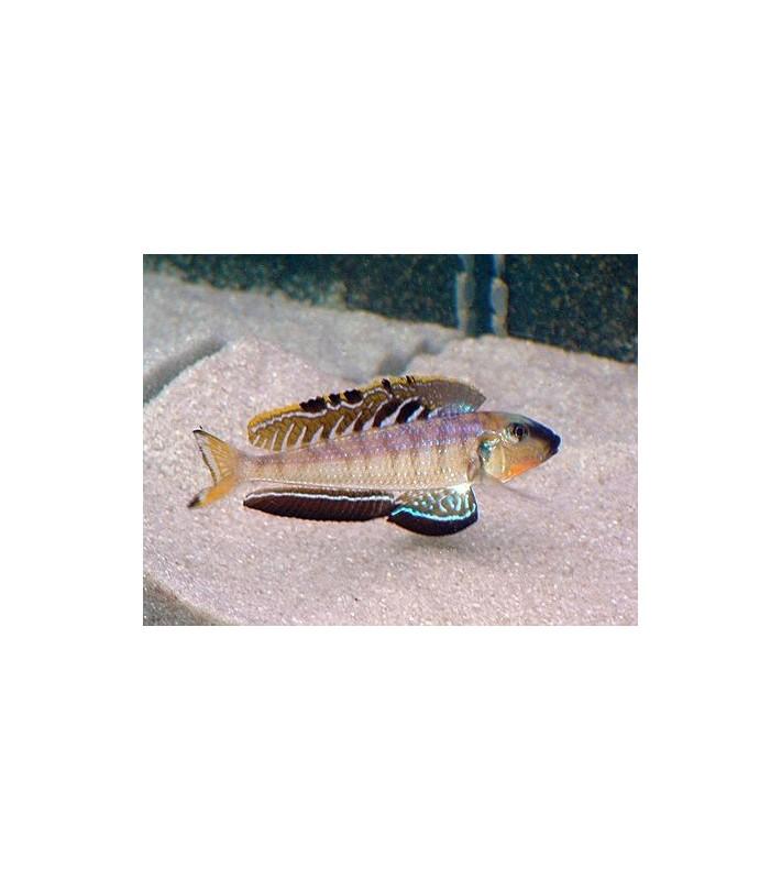 Enantiopus melanogenys Utinta