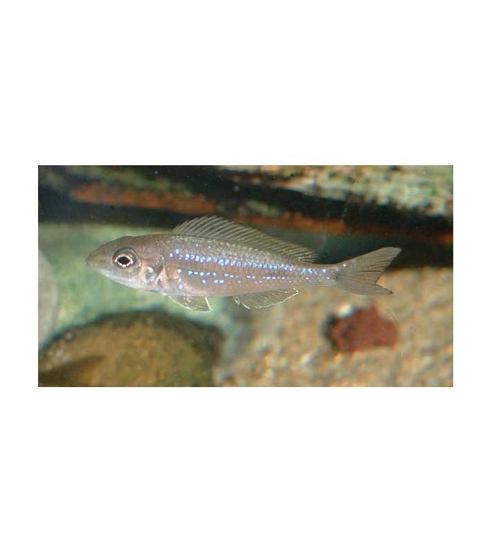 Microdontochromis rotundiventralis