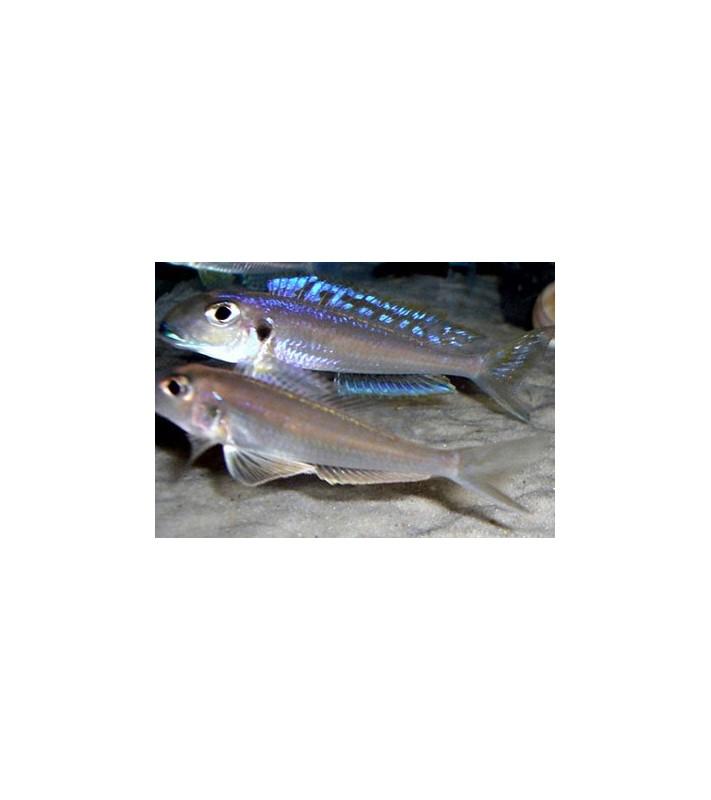 Xenotilapia bathyphilus blue