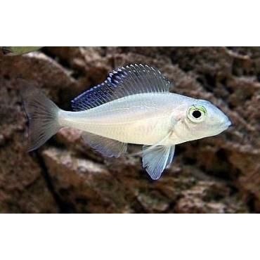 Xenotilapia spilopterus blue Kachese